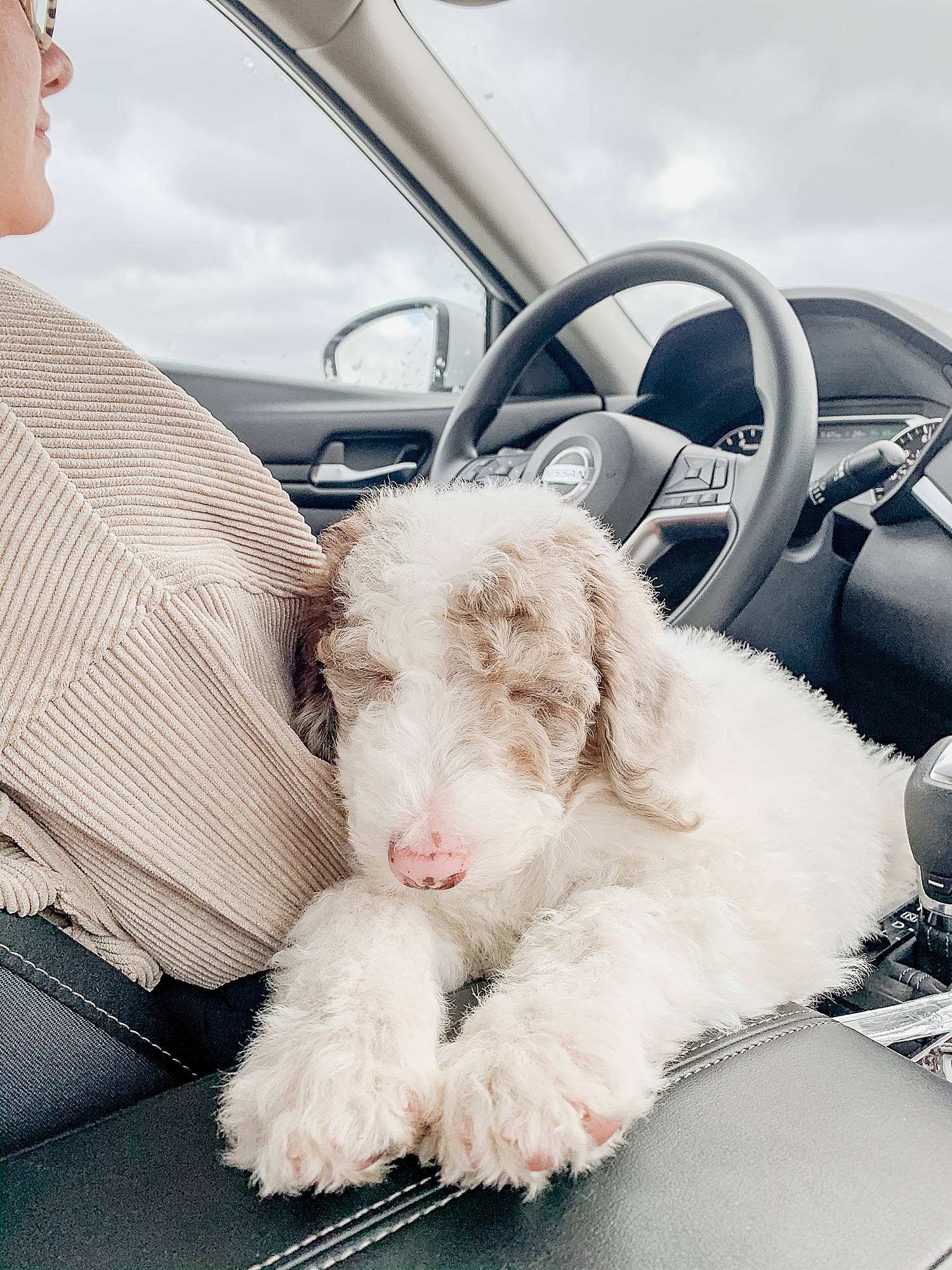 puppy sits on center console in car